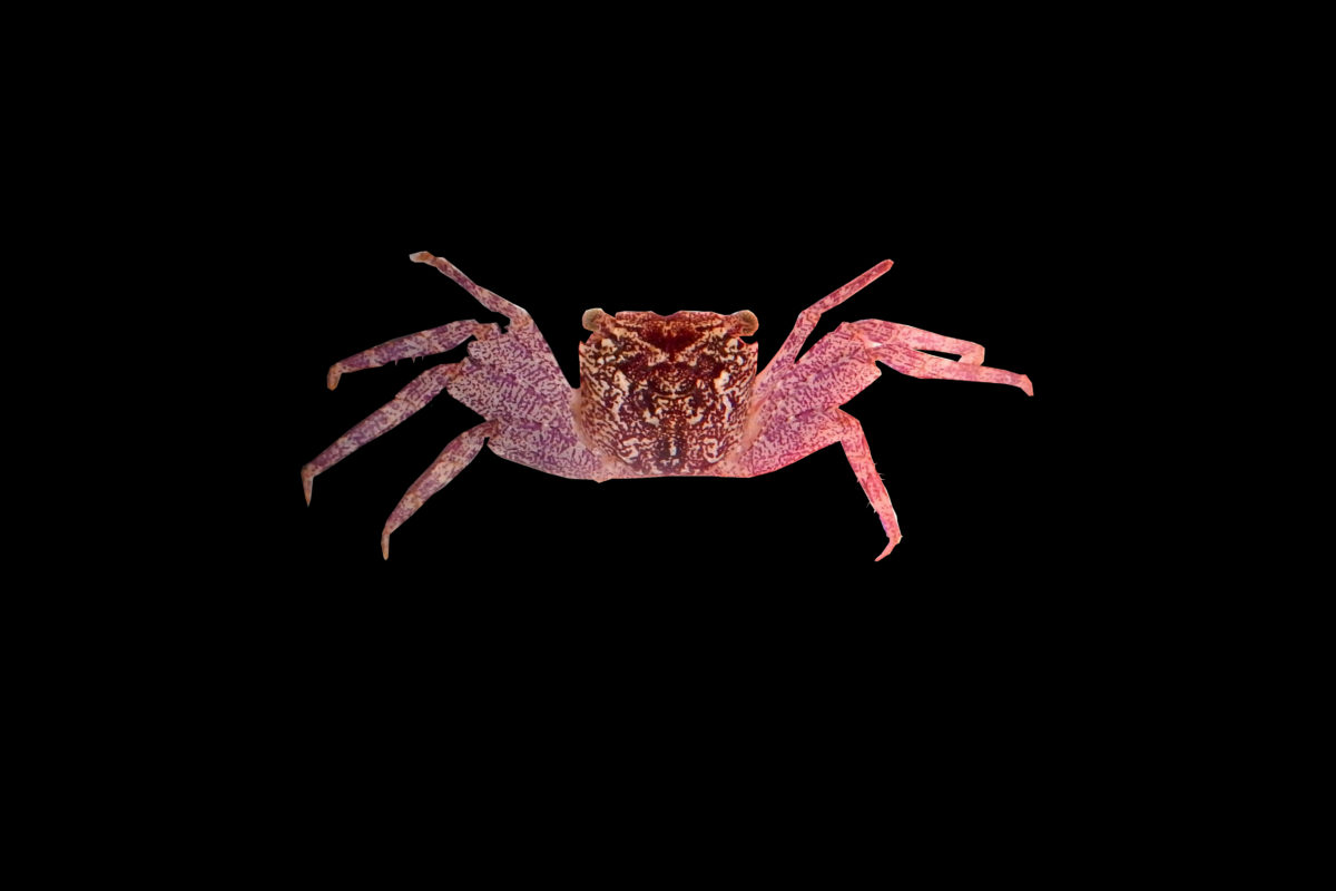A new species of tree-spider crab Leptarma biju. Image by Riyas A