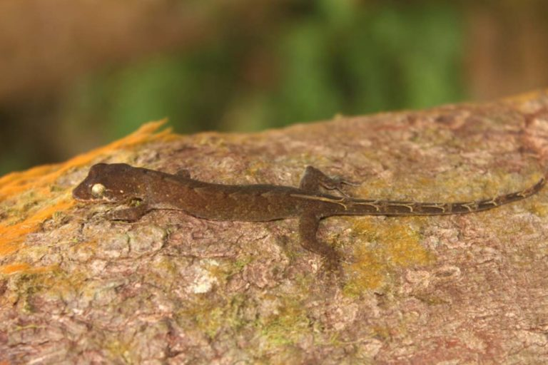 The first photograph of an uncollected Pseudogekko hungkag ofunknown sex, observed on Pocdol Mountain, Bacon-Manito MountainRange, Albay Province. Screenshot from Brown et. Al. 2020.