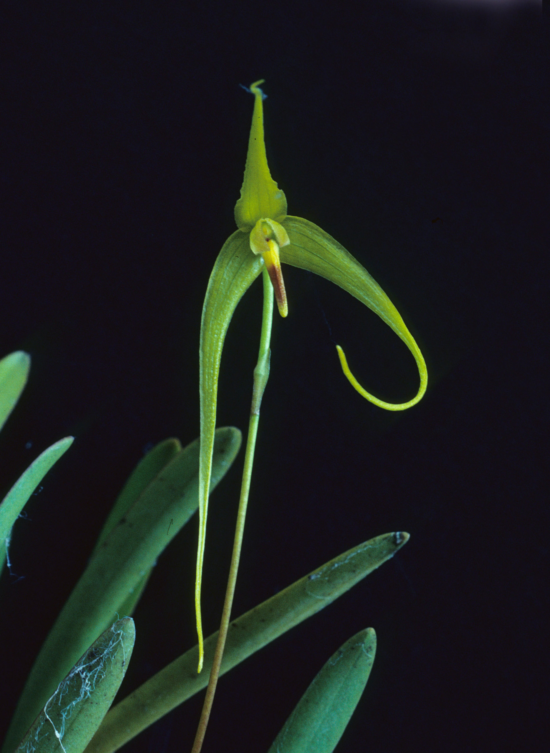 A newly discovered orchid, Bulbophyllum dologlossum. Image by T.M. Reeve.