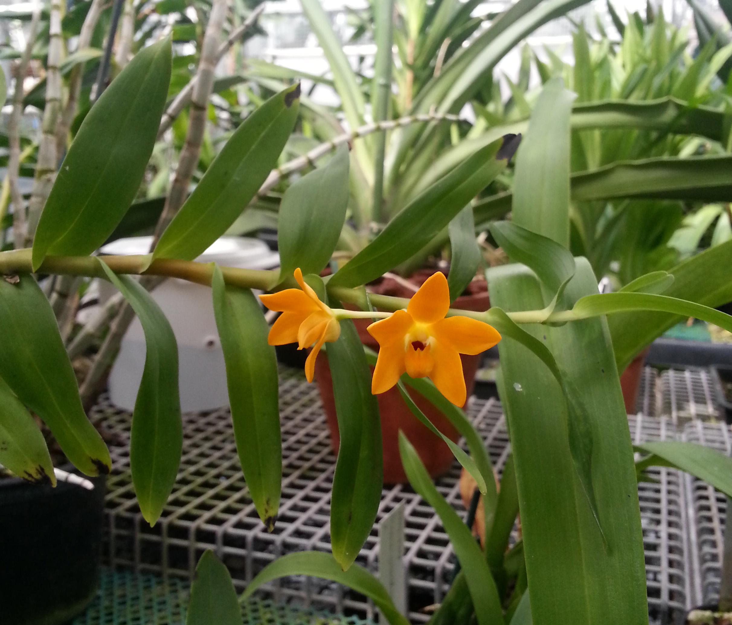 A new orchid found in New Guinea and cultivated at RBG Kew, Dendrobium aurifex. Image by Bala Kompalli.