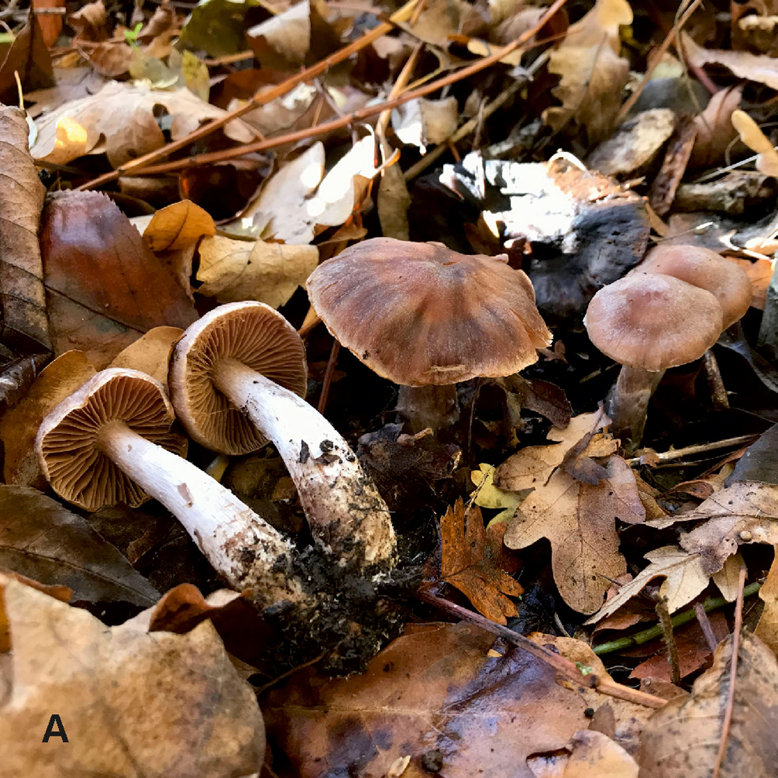 Cortinarius heatherae was discovered by a river on the boundary of Heathrow airport in the U.K. Image by Andy Overall.