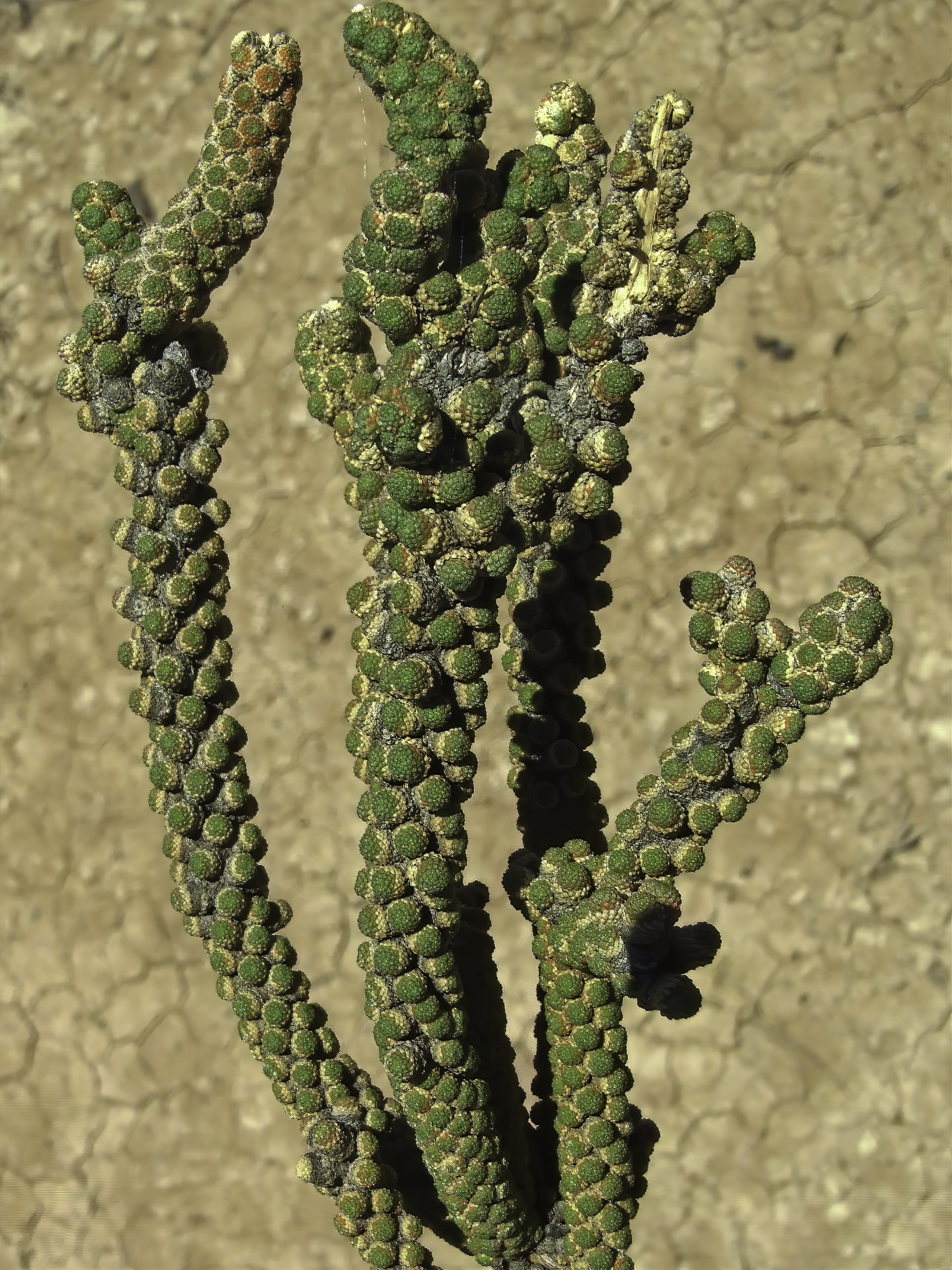 Tiganophyton karasense with its unique scaly leaves. Image by Wessel Swanepoel.