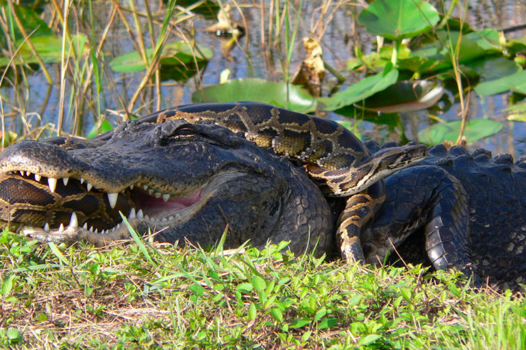 American alligator and an invasive Burmese python in Everglades National Park by Lori Oberhofer, National Park Service