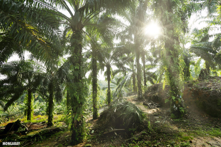 Perkebunan kelapa sawit di Indonesia.  Foto oleh Red A.  Kepala pelayan.