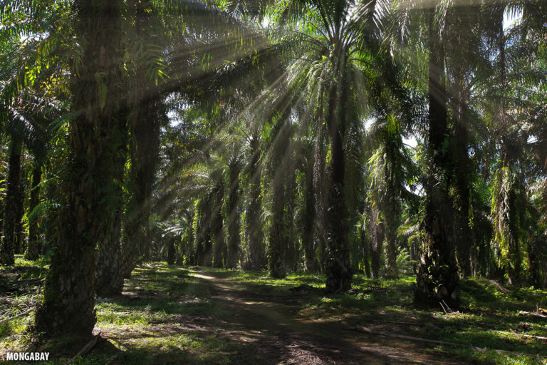 Interior of an oil palm plantation in Indonesia. Photo by Rhett A. Butler.