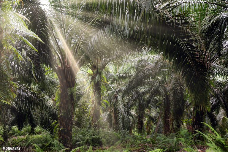 Interior of an oil palm plantation in Malaysia. Photo by Rhett A. Butler.