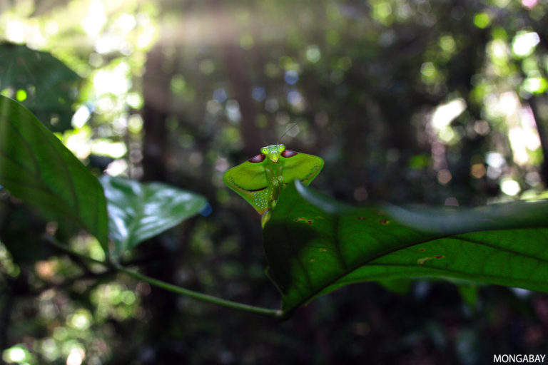 Rainforest mantis in Suriname. Photo credit: Rhett A. Butler