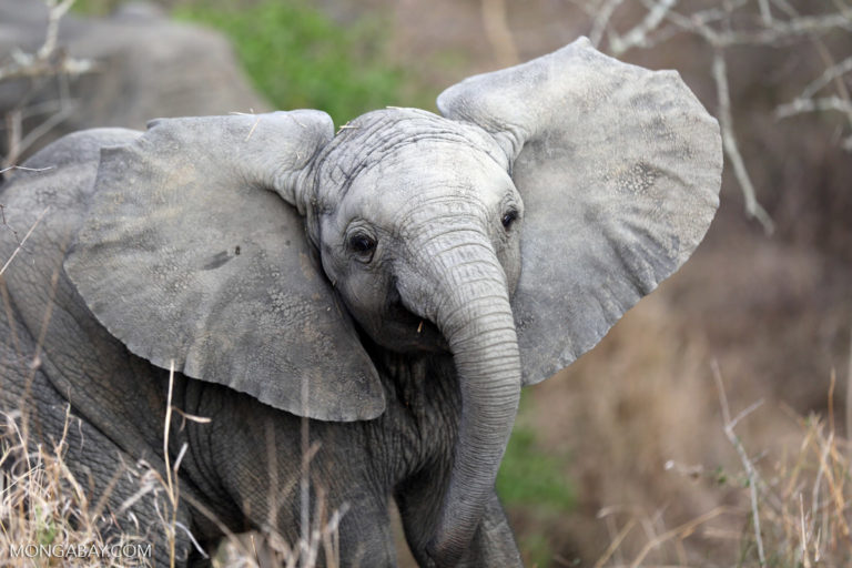 A baby African elephant at Kruger National Park. Image by Rhett A. Butler.
