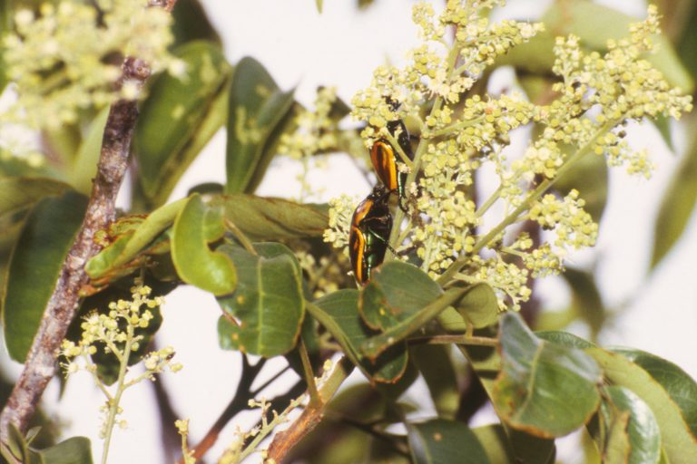 : Scarab beetles on little white flowers in the canopy. Image by Susan Kirmse (CC BY-ND).