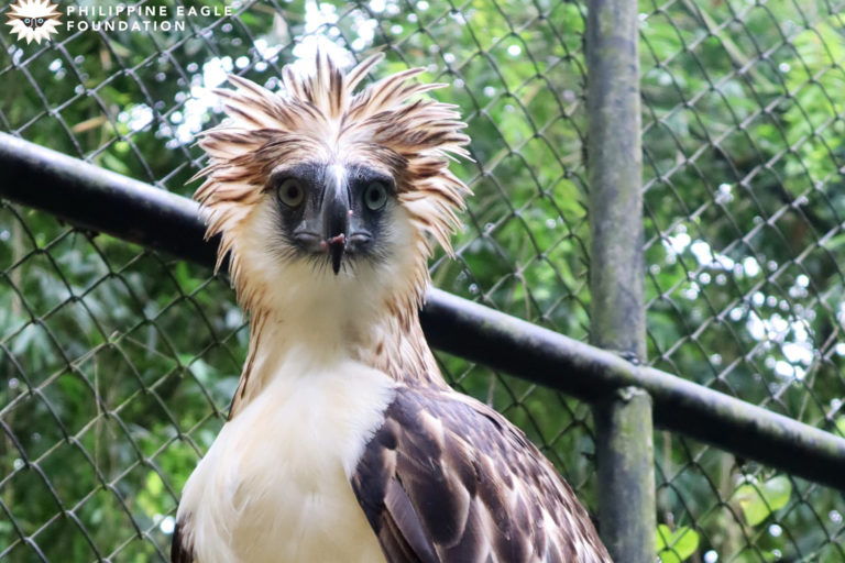 A good year for the Philippine eagle in 2020, but not for its supporters