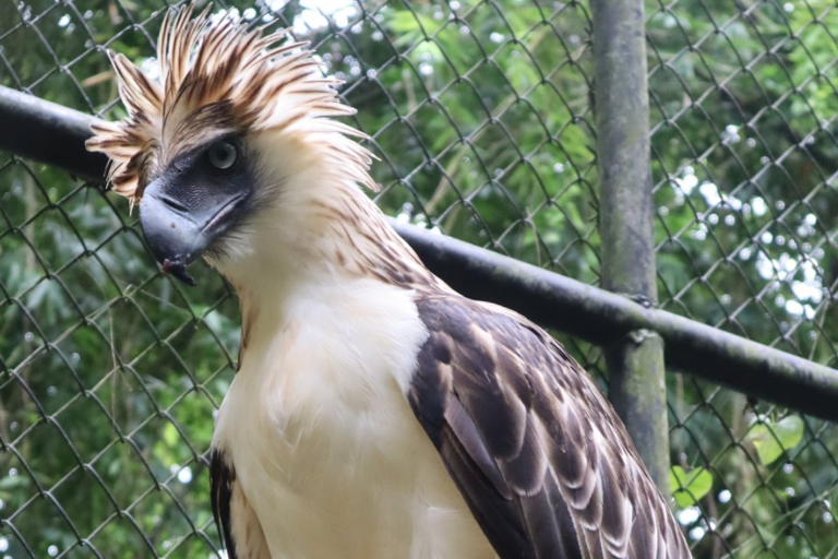 """Despite his left eye injury, Philippine eagle Balikatan is very active prefers to """"hunt"""" his prey, according to the PEF. Image courtesy of the PEF."""
