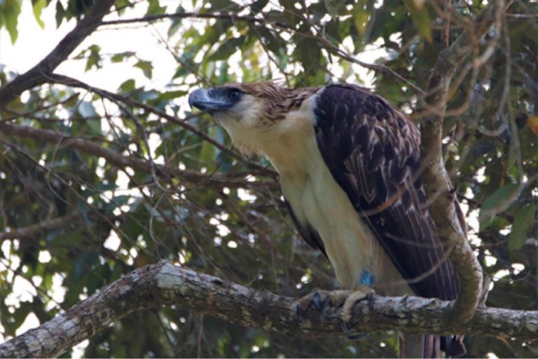 Mal'lambugok, a Mandaya term for the Philippine eagle, was turned over by a farmer last July. She was released back into the wild two months after. PEF's field crew saw her being chased by two Brahminy kites a month after her release, but she survived the ordeal, PEF says. Image courtesy of the PEF