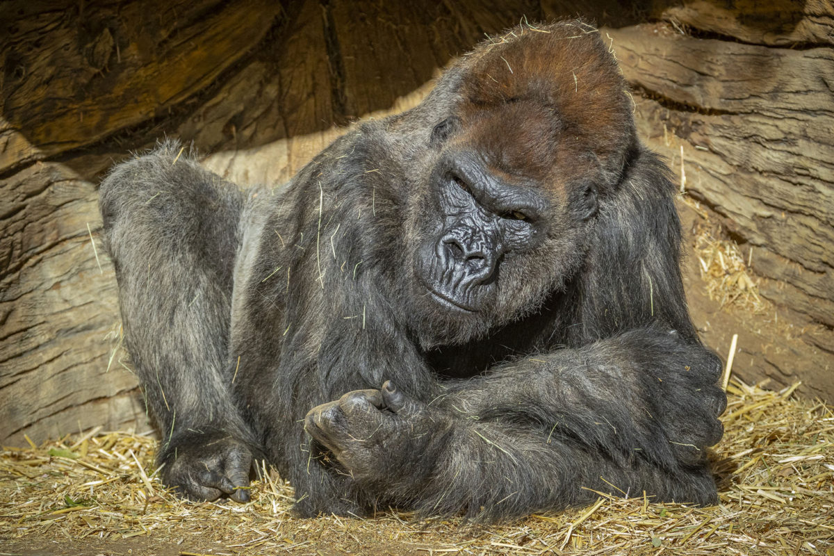 First COVID-19 cases in zoo gorillas raise alarm about wild populations