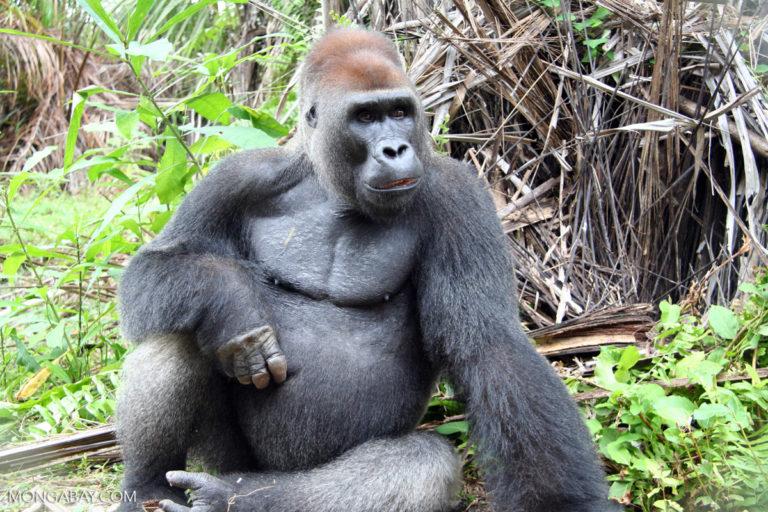 A male silverback gorilla in Gabon. Image by Rhett A. Butler/ Mongabay.