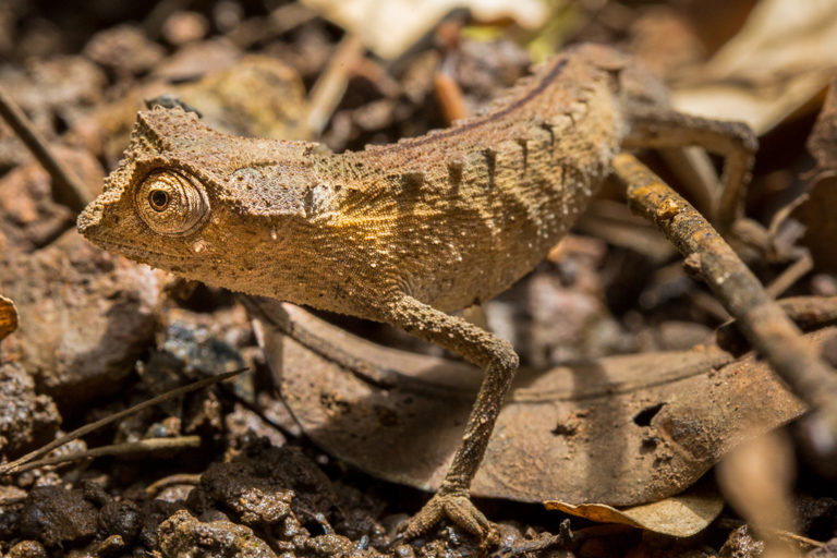 A plated leaf chameleon (Brookesia stumpfii) among the leaf litter of Lokobe National Park. Image © Chris Scarffe Film & Photography/Chris Scarffe.