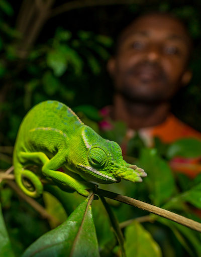 A guide finds a Petter's Chameleon (Furcifer petteri) in Amber Mountain National Park. Image © Chris Scarffe Film & Photography/Chris Scarffe.