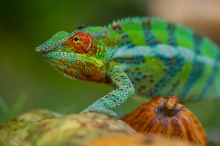 A panther chameleon (Furcifer pardalis) in a cacao plantation in Ambanja, northwestern Madagascar, where trade in the species is active. Image © Chris Scarffe Film & Photography/Michel Strogoff.