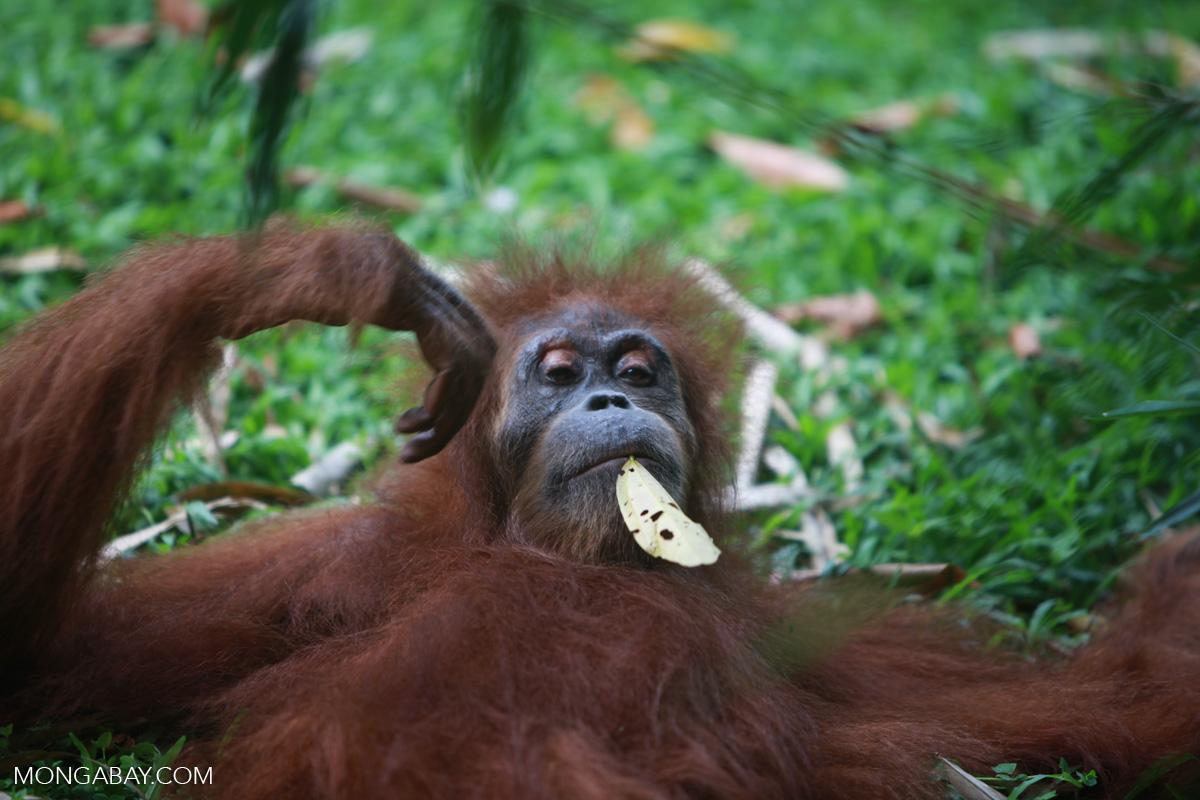 Deforestation of orangutan habitat feeds global palm oil demand, report shows