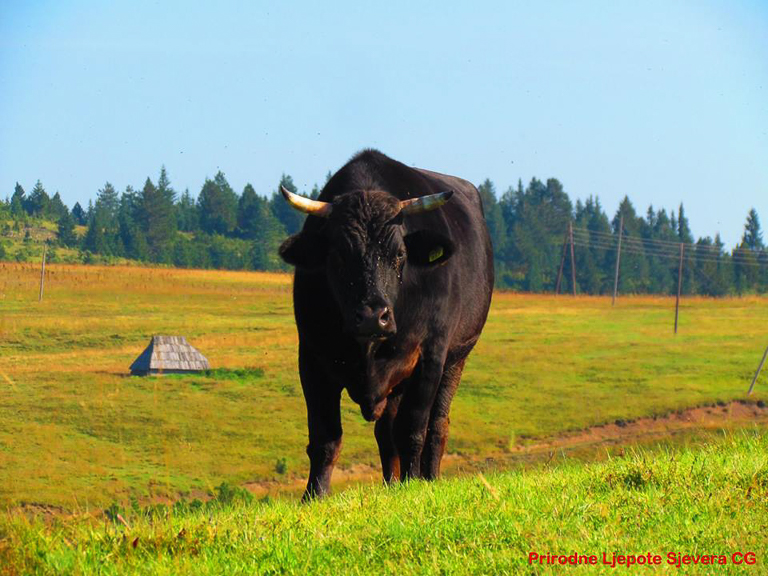 A cow on the pastures of Sinjajevina. Image courtesy of the Save Sinjajevina Association.