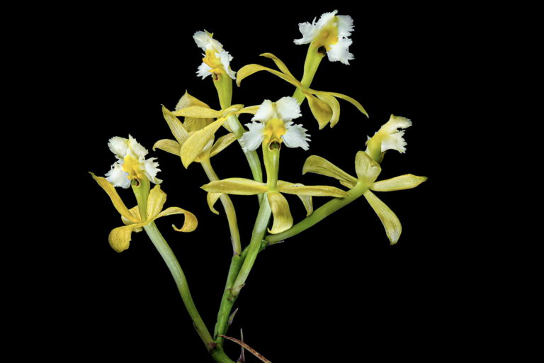 Photo: The newly discovered orchid, Epidendrum katarun-yariku. Image courtesy of Mateusz Wrazidlo.