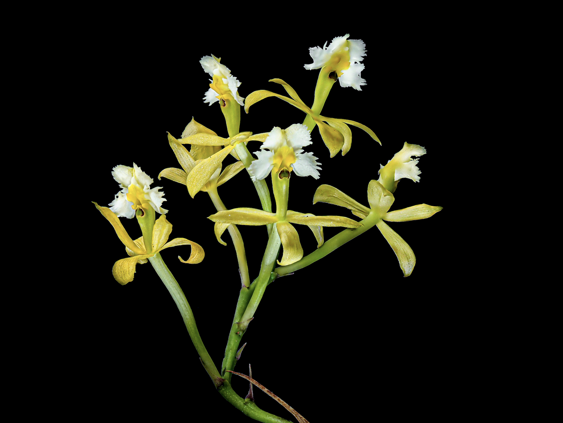 Photo: The newly discovered orchid, Epidendrum katarun-yariku. Image courtesy of Mateusz Wrazidlo.