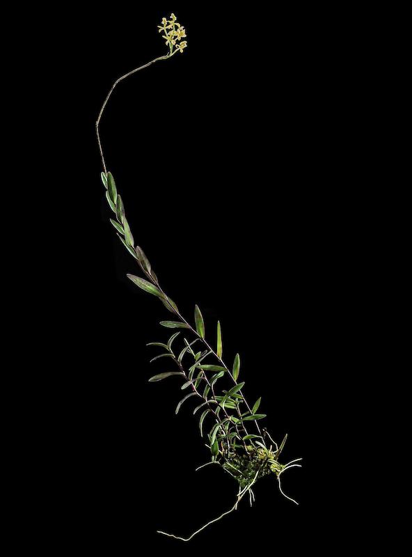 The newly discovered orchid, Epidendrum katarun-yariku. Image courtesy of Mateusz Wrazidlo.