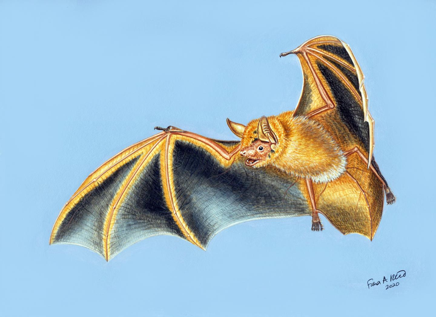 An illustration of Myotis nimbaensis, shows its wings spread. Image by Fiona Reid.