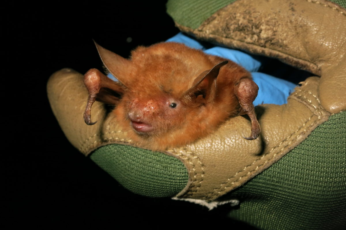Myotis nimbaensis, shown here, is a new species of bat named for the mountain range in which it is found, the Nimba Mountains in West Africa. Photo © Kendra Snyder / Bat Conservation International.
