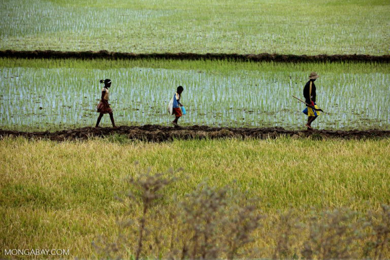 rice field by Rhett Butler/Mongabay.