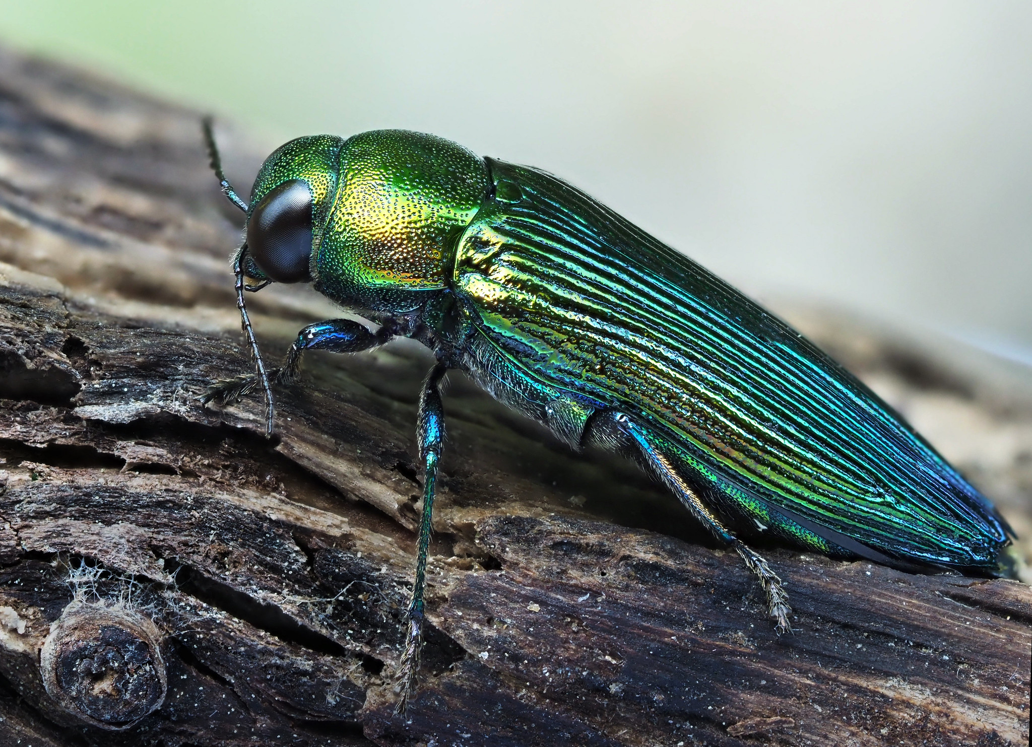 The oak jewel beetle (Eurythyrea quercus) is one of the most endangered beetle species in Europe. It requires old, dry oaks to develop, which are seldom left in the landscape. Photo by Frank Vassen via Flickr (CC BY 2.0)