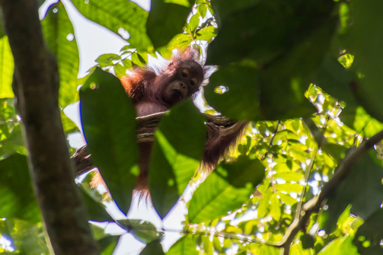 A Bornean orangutan (Pongo pygmaeus). Image by John C. Cannon/Mongabay.