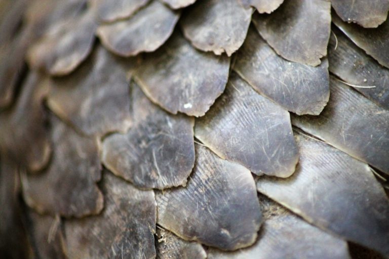 Philippine pangolins are hunted for their meat, blood and scales. Rampant poaching to fuel the wildlife trafficking ring drove the species to critically endangered status in a span of two years. Image by L. Archer/ZSL