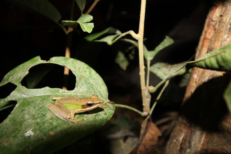 Planned coal-trucking road threatens a forest haven for Sumatran frogs