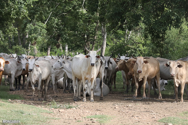 Cattle, pictured here in the Bolivian Chaco, are the primary driver of tropical forest loss. Image by Rhett A. Butler/Mongabay.