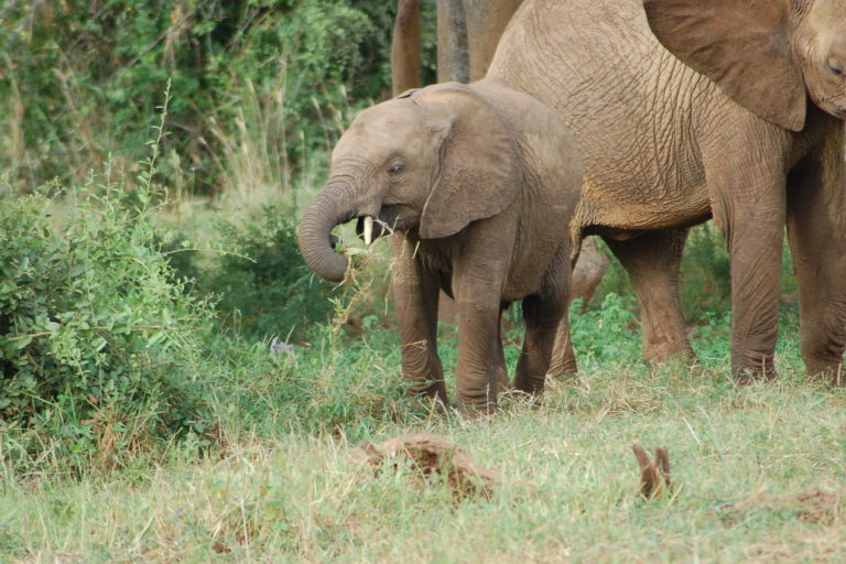 Elephant with calf, Tsavo National Park, Kenya. Image by Shever via Flickr (CC BY-2.0)