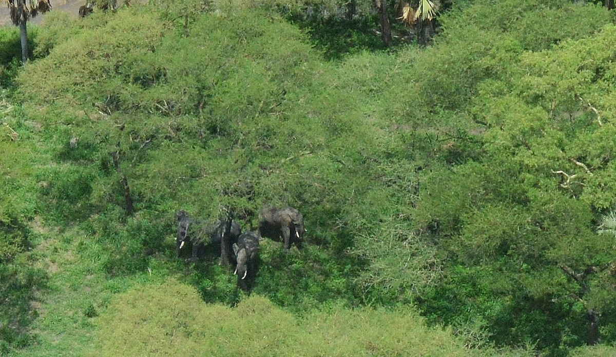 Elephants hidden by dense green forest cover. Image by Richard Lamprey/Fauna & Flora International