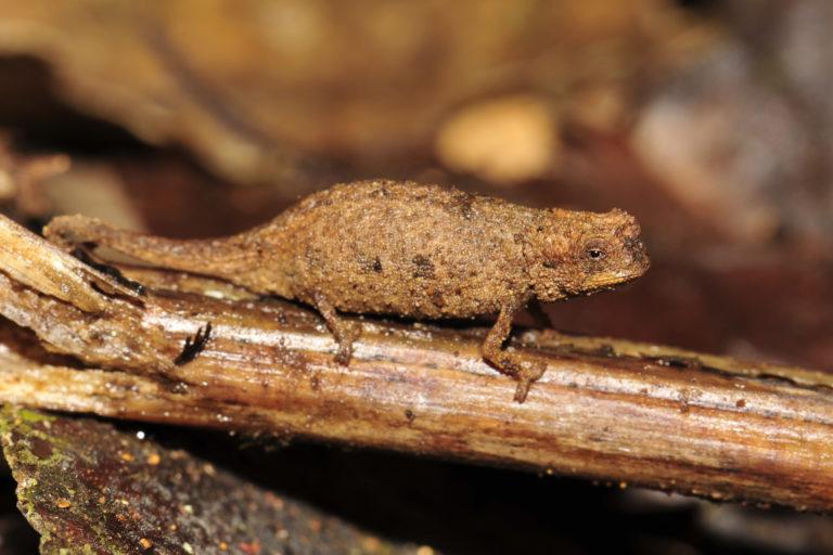 A female Brookesia nana. Image courtesy of Frank Glaw.