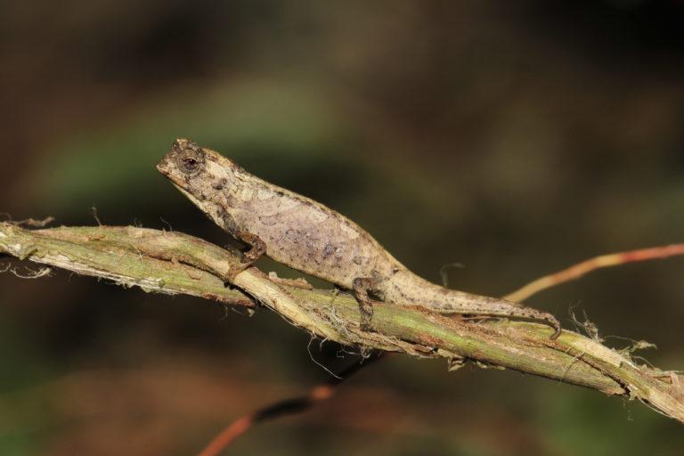 A male Brookesia nana. Image courtesy of Frank Glaw.