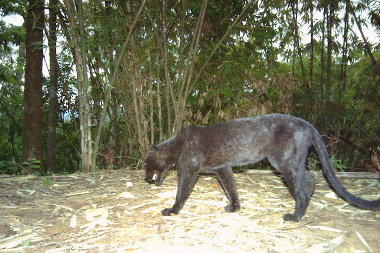Black Indochinese leopard photographed by a camera trap in the Dawna Tenasserim landscape. Image ©Freeland/DNP.