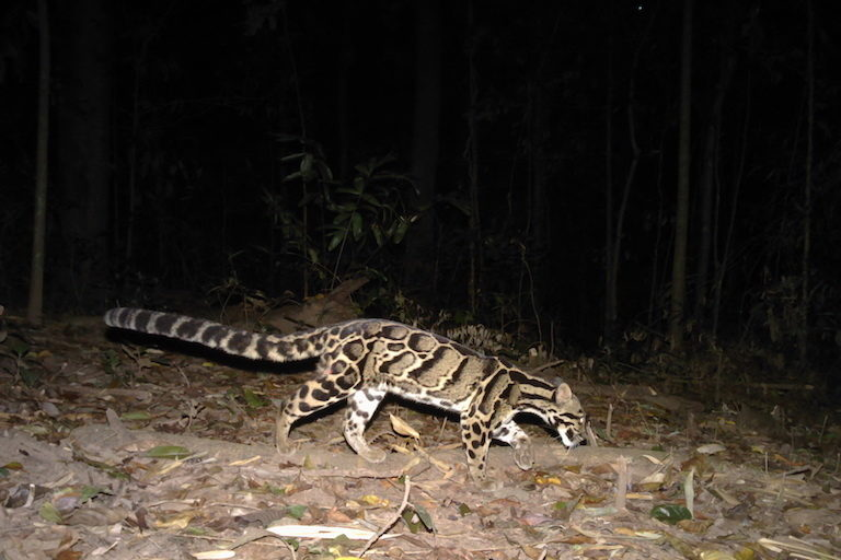 Clouded leopard photographed by a camera trap in the Dawna Tenasserim landscape. Photo ©Freeland/DNP.