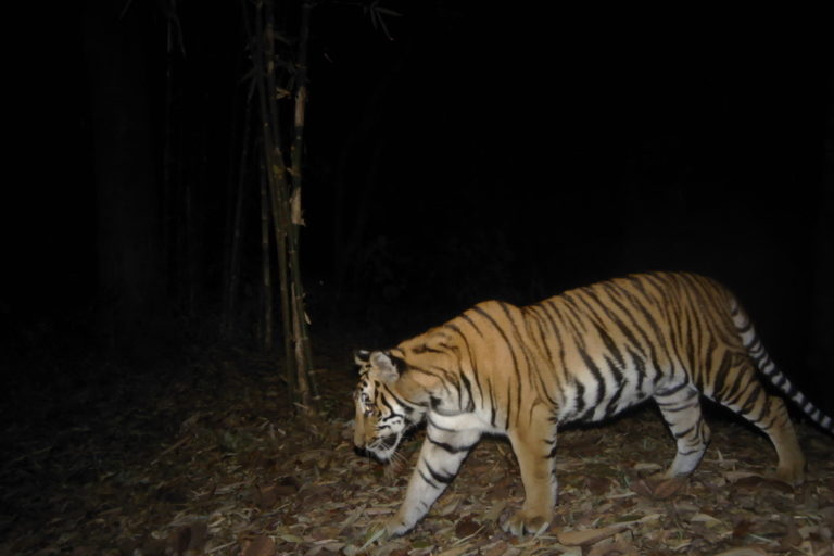 Indochinese tiger photographed by a camera trap in the Dawna Tenasserim landscape. Photo ©Freeland/DNP.