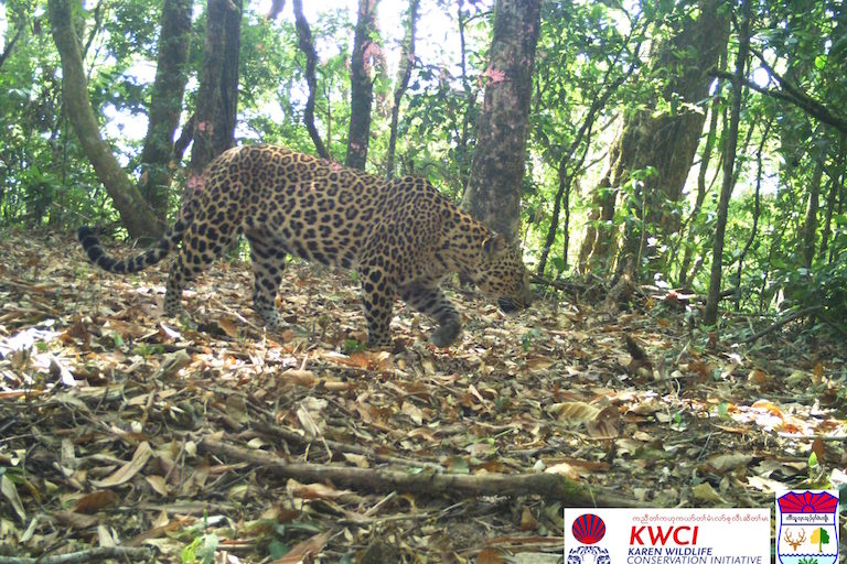 Indochinese leopard (Panthera pardus delacouri) photographed by a camera trap in the Dawna Tenasserim Landscape. Image courtesy of KWCI/KFD.