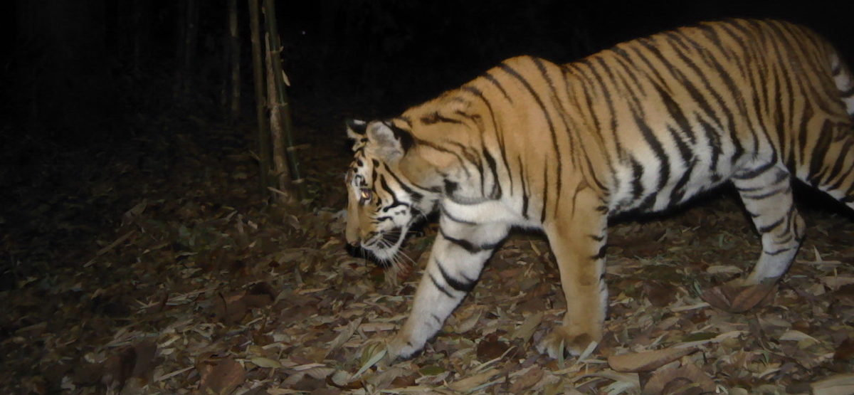 For border-crossing Thai tigers, the forest on the other side isn't as green