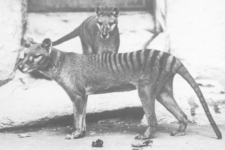 Thylacines, male and female in the National Zoo Washington D.C.
