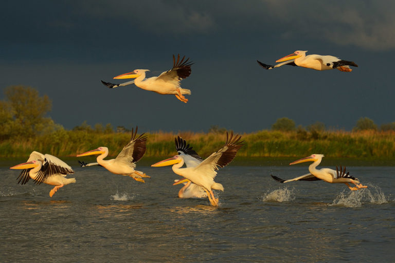 White pelicans, Pelecanus onocrotalus, Danube Delta rewilding area, Romania. Photo by Staffan Widstrand / Rewilding Europe.