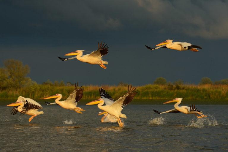 White pelicans, Pelecanus onocrotalus, Danube Delta rewilding area, Romania. Photo by Staffan Widstrand / Rewilding Europe.