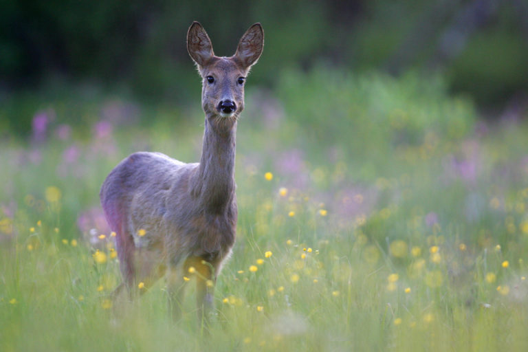 Roe deer, Greater Côa Valley, Western Iberia. The project works to restore the habitat of apex predators such as the endangered Iberian wolf, by scaling up natural grazing and restoring predators' prey-base through roe deer restocking. Photo by Grzegorz Lezniewski / Rewilding Europe.