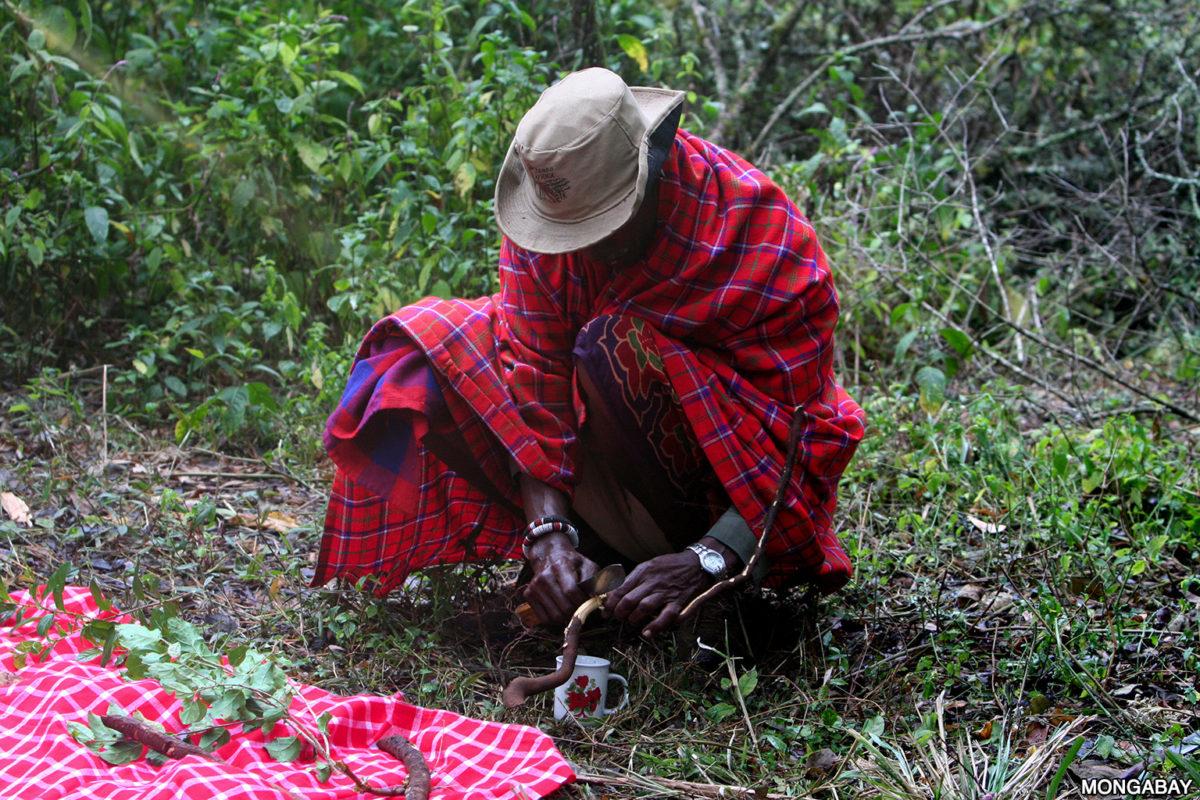 A Purko elder collecting medicinal plants in the Loita Hills Forest, Kenya. Photo credit: Rhett A. Butler.