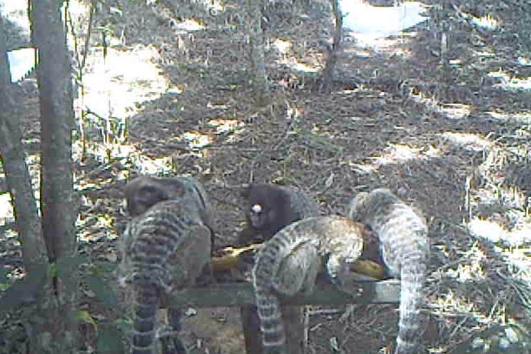 A group of black-tufted marmosets (Callithrix penicillata) eating bananas embedded with native tree seeds at a suspended feeder, in camera-trap footage. Image courtesy of Wesley Silva.