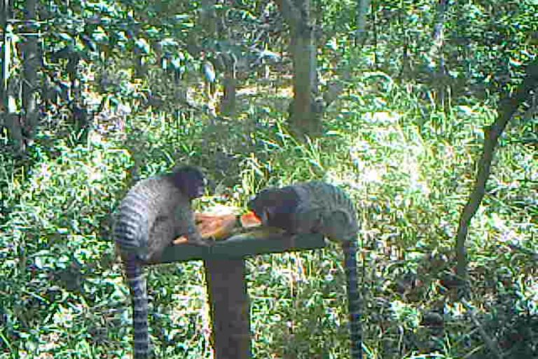 Camera-trap footage shows black-tufted marmosets (Callithrix penicillata) eating papayas embedded with native tree seeds at a feeder. Image courtesy of Wesley Silva.